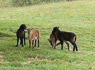 Lambs 2010