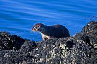 The elusive otter at Tokavaig
