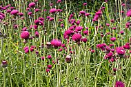 Summer thistles in the walled garden, Clan Donald Skye
