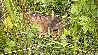 baby roe deer taken in front of bays and bens holiday lets and cottages airds bay taynuilt nr oban, argyll  fantastic wildlife in abundance