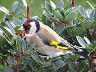 image of a goldfinch at bays and bens holiday lets and cottages, airds bay, taynuilt, nr oban, argyll, scotland