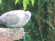 collered doves in our garden