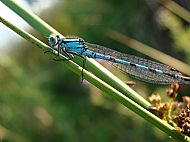Damselfly at Stablelake