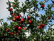 A good year for apples