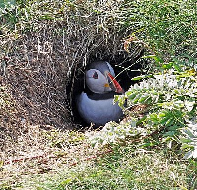 puffin on staffa