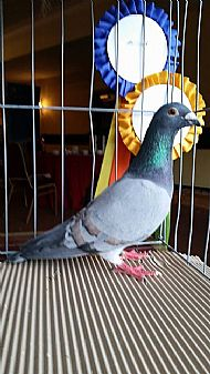 BEST COLOURED RACING PIGEON 2014