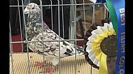 2016 Irish Flying & Fancy Pigeon Show