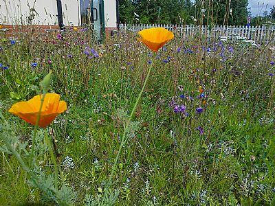 wildflower meadow at wyndham park infants' school