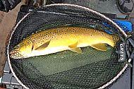 Ross's Fish