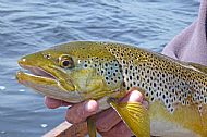 Stan Headley's Trout for T&S