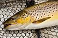loch eye boat fishing , brown trout