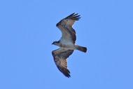 osprey, loch eye