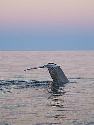 Blue Whale, Baja, Mexico 16300