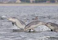 Bottlenose Dolphin in the Moray Firth 40449