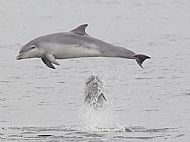 Bottlenose Dolphin in the Moray Firth 40571