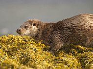 European Otter, Mull, Scotland 41348