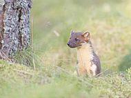 Pine Marten (Wild) Black Isle, Scotland 41991