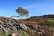 The lonely rowan tree