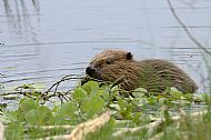 Beaver in the Aigas Loch - part of a captive breeding project started in 2006