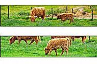 Hieland Coo & Calf