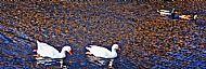 Geese & Ducks