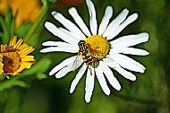 Sunfly