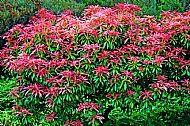 Andromeda Plant