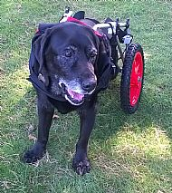 Out most recent dog Rowley enjoying his wheelchair from bestfriendmobility.net