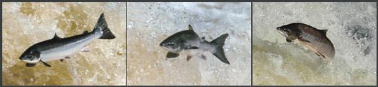 salmon photo montage