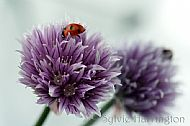 Ladybird on Chive