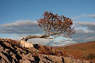 The sheep and the lonely rowan tree