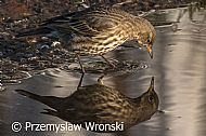 Rock Pipit - or two...