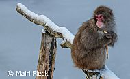 Highland Snow Monkey