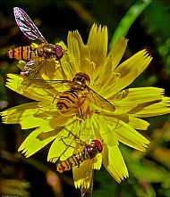 A trio of hoverflies