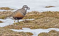 Dotterel with prey item
