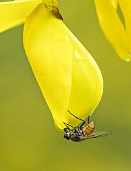 Fly species on broom flower