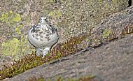Ptarmigan before the snow arrived inthe Cairngorms