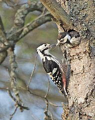 White backed woodpecker feeding young