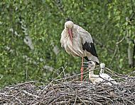 White Stork with chicks