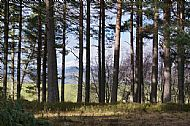 Pines in Glascairn Wood