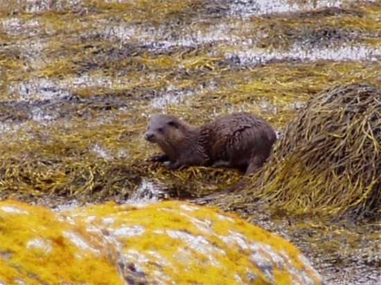 otter, lochinver, norwest sea kayaking, scotland