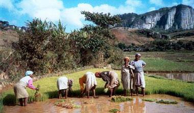 rice fields madagascar