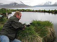 Eider down farming Iceland