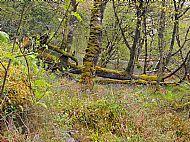 Ancient Atlantic oak woodlands