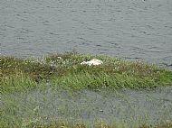 Whooper swan nest - Vatnajokull National Park