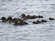 Eider ducks and young