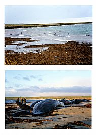 HPA138   11 Sperm whales stranded on  Backaskaill Bay, December 1994 (J & R Towrie)