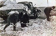 HPA052   Shell sand gathering Start c.1946