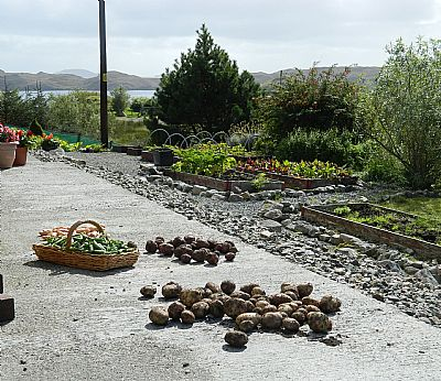 bumper crop od peas and potatoes 16a lemreway isle of lewis