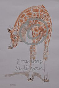 Balancing Act - giraffe